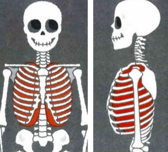 肺の大きさ