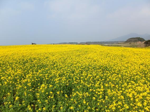 魚津ヶ崎公園 菜の花まつり